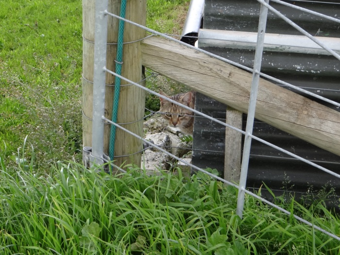 kiwi-cat-north-island-new-zealand