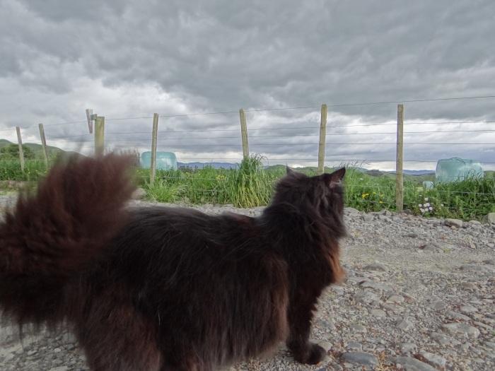 kiwi-cat-new-zealand